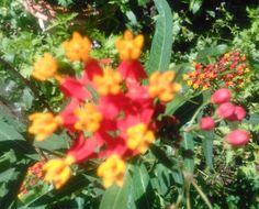 $4 BUTTERFLY WEED, Butterfly Weed seeds, Milkweed seeds, Asclepias seeds by DiDiGifts on Etsy