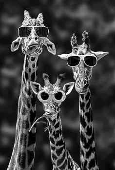 & so cool!& the giraffe on the left. & look at our shades!& says the middle giraffe.& says the giraffe on the right. Typical, he was only talking about himself! Animal Pictures, Funny Pictures, Funny Images, Quote Pictures, Pictures Images, Family Pictures, Picture Quotes, Funny Animals, Cute Animals