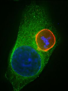 Previously unknown interaction between malaria parasites and liver cells identified.