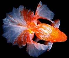 Image from http://www.exoticgoldfish.net/images/pic%20-%20breeds-tosakin1.jpg.