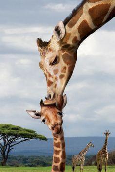 Giraffe kissing a baby giraffe - £12.99