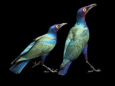 Almost too colourful to be real! Purple Glossy Starlings Image, Kansas City Zoo - National Geographic Photo of the Day