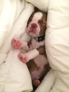 Puppies and New Litters | Boston Terrier Friendzy