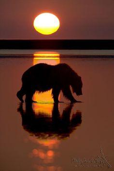long day - walking in sunshine, coastal brown bear in lake clark national park, alaska by phyllis burchett Nature Animals, Animals And Pets, Cute Animals, Beautiful Creatures, Animals Beautiful, Silhouettes, Walking In Sunshine, Foto Poster, Alaska Travel