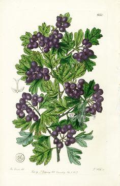 Edwards Botanical Register Prints 1815