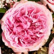 Cut Roses - David Austin Roses - Miranda (Ausimmon)