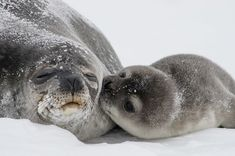 It is really difficult to count seals – they tend to live in remote hard-to-reach locations where weather conditions are extreme, and they spend a lot of their time in the water. During summer, they haul themselves out onto the ice for some time each day. Scientists need to understand the typical pattern of seal numbers out on the ice so they can reliably estimate the population size.  They need your help!
