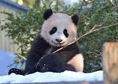 ジャイアントパンダのシャンシャン(231日齢)の映像:時事ドットコム
