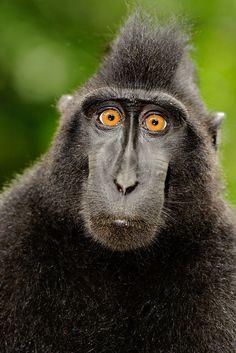 Black Crested Macaque, so love his face! Interesting Animals, Unusual Animals, Rare Animals, Animals Beautiful, Animals And Pets, Primates, Mammals, Especie Animal, Mundo Animal