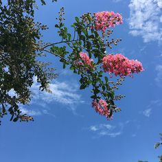 Our crêpe myrtles are blooming again! #oakalley