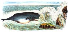 Le #cachalot est une espèce de cétacés à dents. Il a le #cerveau le plus lourd du règne #animal. Extrêmement chassés pour leur huile, les #cétacés ne cessent de diminuer #numelyo #bestiaire #océan
