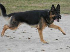 Blanket black and tan german shepherd (i love the darker ones)
