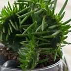 succulent for indoor and outdoors a plant..
