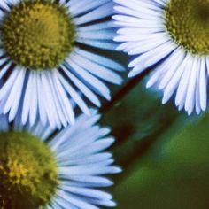 Mini daisies