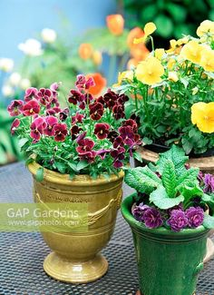 Spring flowers including Viola and Primula in french glazed pots  Credit: GAP Photos/Suzie Gibbons