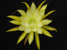 Epiphyllum 'French Gold' - one of my favorites hybridized by my Dad, George French