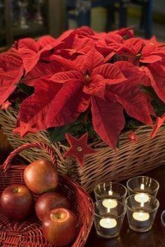 poinsettia - so Christmassy Christmas Flowers, Christmas Decorations, Table Decorations, Love Flowers, Beautiful Flowers, Jingle Bells, Poinsettia, Flower Power, Merry Christmas