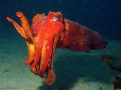 The Australian giant cuttlefish (Sepia apama) is the world's largest cuttlefish. Specimens can measure up to 50 centimeters in length and weigh up to 10 kilograms (23 pounds).The female stores sperm packets from several males and she chooses the paternity of her offspring only after she lays her eggs. Cuttlefish are semelparous—they mate only once, and then they immediately die.