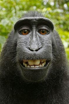 One of the images taken by the macaque using David Slater's camera. This photo was rotated and cropped by the photographer