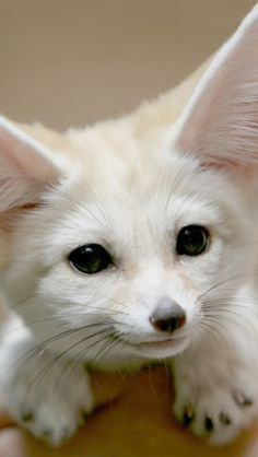 Fennec Fox. Such a cutie, I'm ready to adopt. How can you NOT love that face?
