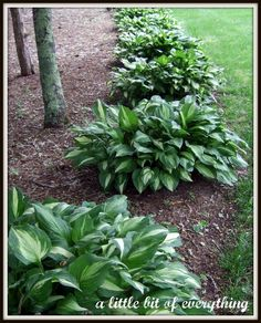Keep your hostas looking like this with Irish Spring Soap. Sprinkle Irish Spring soap shavings around your Hostas to prevent Deer & Rabbit- Who new? Garden Yard Ideas, Diy Garden, Shade Garden, Dream Garden, Lawn And Garden, Garden Landscaping, Landscaping Ideas, Backyard Projects, Outdoor Plants