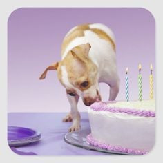 Dog (chihuahua) eating birthday cake on table square sticker   pug chihuahua, too faced melted chihuahua, chihuahua pomeranian mix #chihuahuaofinstagaram #chihuahuasoginstagram #chihuahuawarrior Chihuahua Tattoo, Chihuahua Puppies, Dogs And Puppies, Pug, Chihuahuas, Square Tables, Different Shapes, Cute Stickers, Activities For Kids