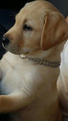Lab Puppies, Cute Dogs And Puppies, Pet Dogs, Doggies, Pets, Havanese Puppies, Rescue Dogs, Cute Baby Dogs, Cute Baby Animals