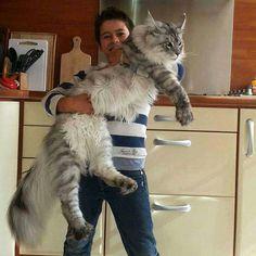 Norwegian mountain domestic cat
