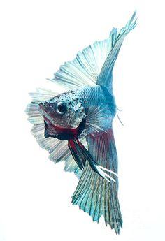 betta fish in action Pretty Fish, Beautiful Fish, Animals Beautiful, Colorful Fish, Tropical Fish, Poisson Combatant, Beta Fish, Siamese Fighting Fish, Fish Drawings