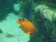 Ocean Life Scripps Institute San Diego Beach, Ocean Life, Fish, Pets, Animals, Animals And Pets, Animales, Navy Life, Animaux