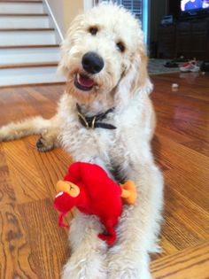 Little Red Hen Harry Howard the Labradoodle