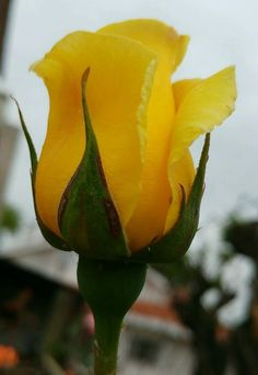 Flowers– among life's little satisfactions – Ideas For Great Gardens Yellow Hibiscus, Yellow Roses, Tulips Flowers, Pretty Flowers, Floribunda Roses, Rose Care, Garden Drawing, Growing Roses, Yellow Painting