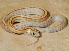 Rat Snake, Corn Snake, All About Snakes, Ball Python Morphs, Pets 3, Reptiles And Amphibians, Lavender, Amber, Salamanders