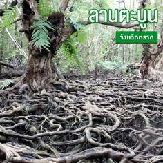 ไปเที่ยวกัน! สิ่งมหัศจรรย์ที่ธรรมชาติสรรสร้าง #ลานตะบูน จังหวัดตราด #ป่าชายเลน ผืนใหญ่ ขนาด 2 พันไร่ ความมหัศจรรย์อยู่ตรงที่ การนั่งเรือเข้าไปลานตะบูน ใช้เวลา 10 นาที จะผ่านป่าถึง 3 ชนิด คือ ป่าโกงกาง ป่าจาก และป่ารากต้นตะบูน ที่ให้ความรู้สึกเหมือนได้เข้าไปในป่าดึกดำบรรพ์  #เที่ยวก่อนนอน #ไทยรัฐ