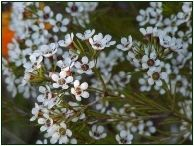 White Waxflower #Waxflowers