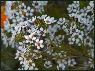 White Waxflower #Waxflowers