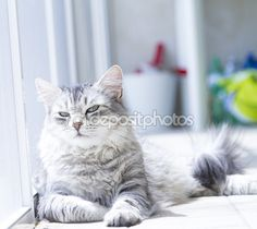 Bella donna di versione di siberian cat, argento — Immagini Stock #113086574 - new on @depositphotos #cat #kitten #pet #animal #cute #gatos #little #feline #puppy #siberian #meow #cuddling #adorablecats #beautifulcats