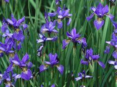 'Perry's Blue' Siberian Iris (Iris sibirica 'Perry's Blue')Bulletproof Perennials | Flowers and Plants for Your Garden | HGTV