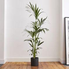 Large Indoor Plants, Indoor Palms, Palm Plants, Ficus, Chlorophytum, Wooden Plant Stands, Home Design Magazines, Palmiers, Perfect Plants