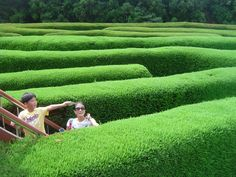 Wonderful, lucious, verdant green hedges in a maze at Jeju Island which has many mazes.