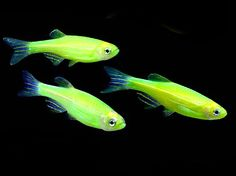 Glofish danio for sale aquariums fish pinterest for Colorful freshwater fish for sale