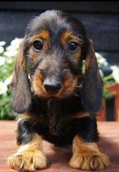 Wire haired dachshund My next dog will be a mini mini-doxie. Dachshund Funny, Wire Haired Dachshund, Dachshund Puppies, Weenie Dogs, Dachshund Love, Cute Puppies, Cute Dogs, Dogs And Puppies, Daschund