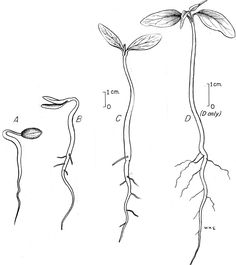 plant seedling drawing - Google Search