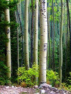 "neptunesbounty:  ""Aspen of the San Juan National Forest by Guy Schmickle on Flickr.  """