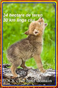 ⓕurry & ⓕeathery ⓕriends - photos of birds, pets & wild animals - Baby wolf practices howling Cute Creatures, Beautiful Creatures, Animals Beautiful, Majestic Animals, Cute Baby Animals, Animals And Pets, Funny Animals, Wild Animals, Strange Animals