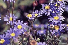 Blue Daisy   ASPCA