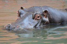 Hippopotamus | Flickr - Photo Sharing!