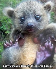 Olinguito. Discovered August, 2013, ranges from the Andes mountains to Ecuador