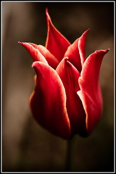 Possible tulip for my new tatoo  Red Tulip Photo:  This Photo was uploaded by missD_27. Find other Red Tulip pictures and photos or upload your own with Photobucket free image and video ...