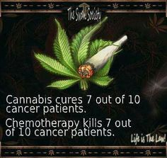 Cannabis cures 7 out of 10 cancer patients #1Cure4Cancer http://cannabisstoreamsterdam.amsterdamgreenoffers.com